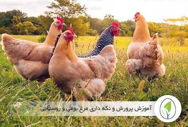 آموزش پرورش و نگهداری مرغ بومی و روستایی