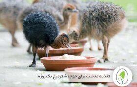 تغذیه مناسب برای جوجه شترمرغ