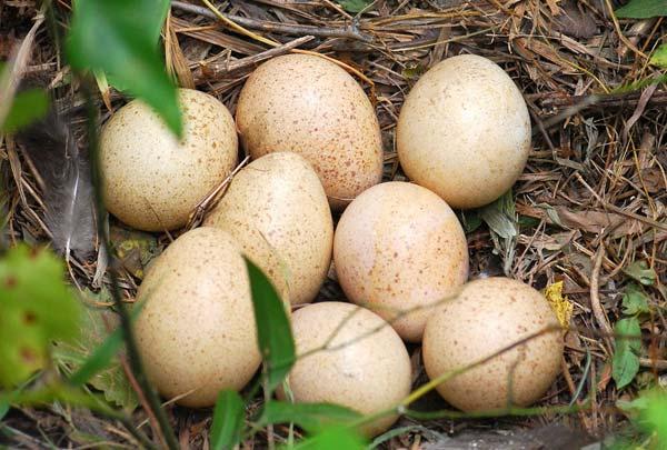 مرحله اول تهیه تخم های نطفه دار