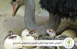 اصول جوجه کشی از تخم نطفه دار شترمرغ
