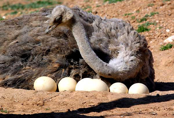 غربالگری تخم های نطفه دار شترمرغ