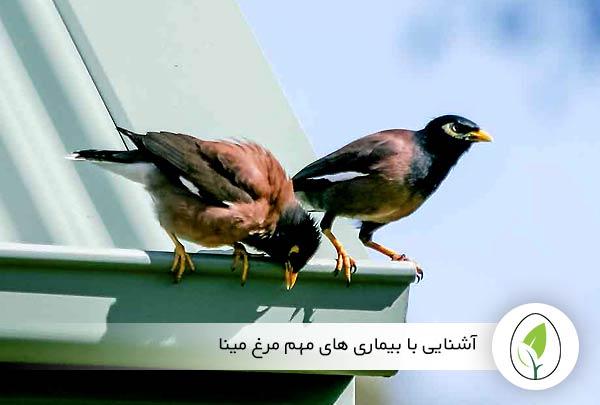 آشنایی با بیماریهای مهم مرغ مینا