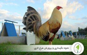 پرورش مرغ لاری