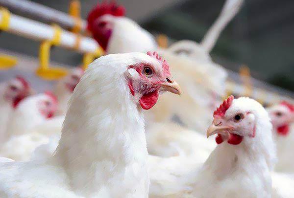 مرغ تخم گذار بومی اصیل
