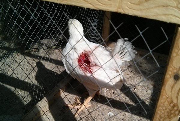 علل اصلی بیماری کانیبالیسم در مرغ ها