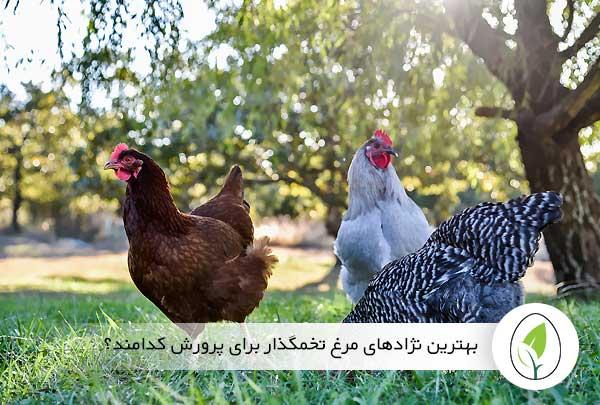 بهترین نژادهای مرغ تخمگذار برای پرورش کدامند؟