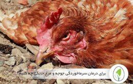 برای درمان سرماخوردگی جوجه و مرغ خانگی چه کنیم