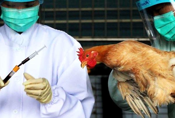 بیماری آنفولانزای مرغی و رابطه آن با آب و هوا
