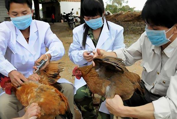 علائم بیماری آنفولانزای مرغی را بیشتر بشناسید