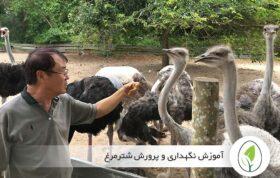 آموزش نگهداری و پرورش شترمرغ