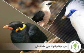 مرغ مینا و گونه های مختلف آن