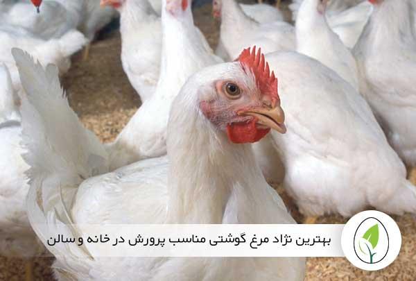 بهترین نژاد مرغ گوشتی مناسب پرورش در خانه و سالن