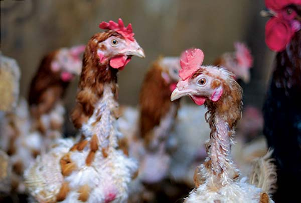 جلوگیری از تولک رفتن مرغ