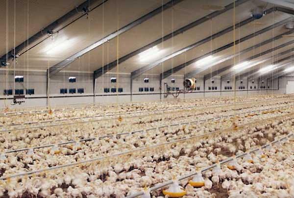 نقش حرارت در سالن های پرورش مرغ تخمگذار و گوشتی