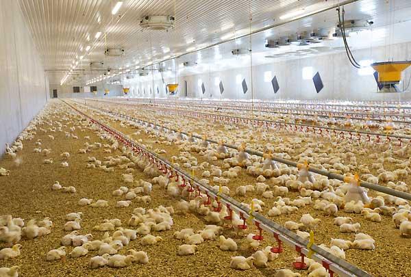 نقش نور در سالن های پرورش مرغ تخمگذار و گوشتی