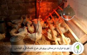 نور و حرارت در سالن پرورش مرغ تخمگذار و گوشتی