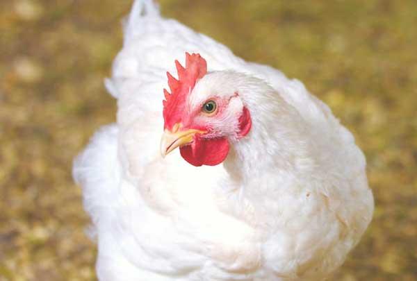 نکات مهم در پرورش مرغ گوشتی