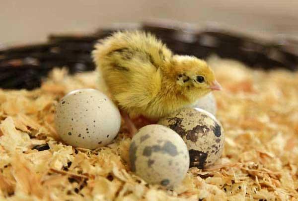 آیا میتوان از مرغ برای جوجه کشی بلدرچین استفاده کرد