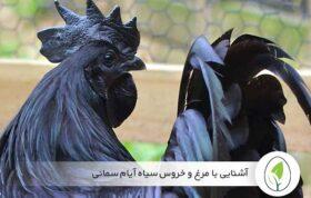 آشنایی با مرغ و خروس سیاه آیام سمانی - چیکن هچ