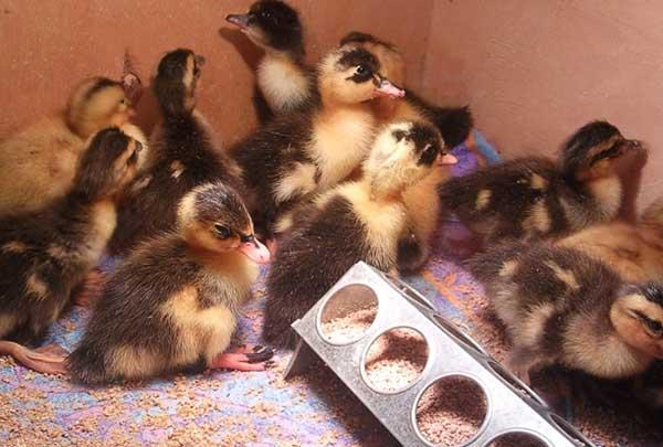 تامین منابع پروتئین مورد نیاز اردک ها
