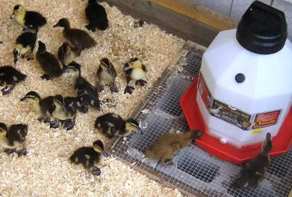 تامین ویتامین های مورد نیاز اردک ها