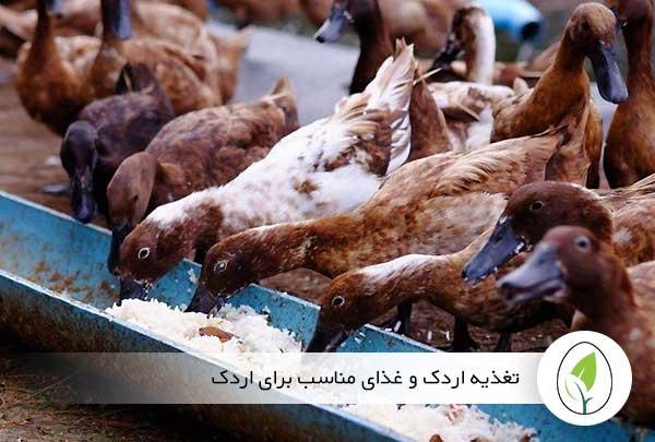 تغذیه اردک و غذای مناسب برای اردک