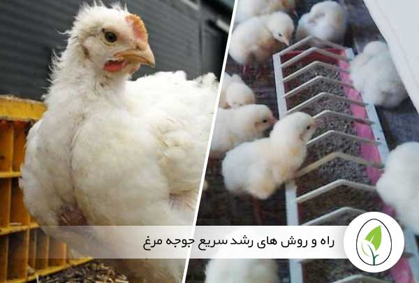 راه و روش های رشد سریع جوجه مرغ