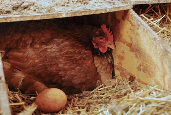 روش های تحریک مرغ برای تخمگذاری