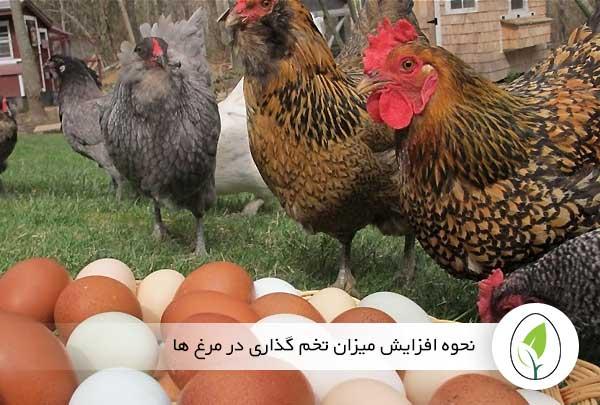 نحوه افزایش میزان تخم گذاری در مرغ ها