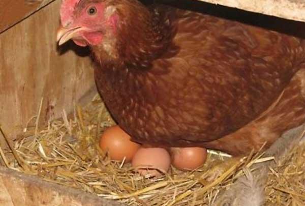 نشانه های مرغ تخمگذار