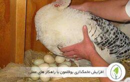 افزایش تخمگذاری بوقلمون با راهکار های عملی - چیکن هچ