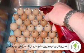 نحوه آب پاشی بر روی تخم نطفه دار غاز - چیکن هچ
