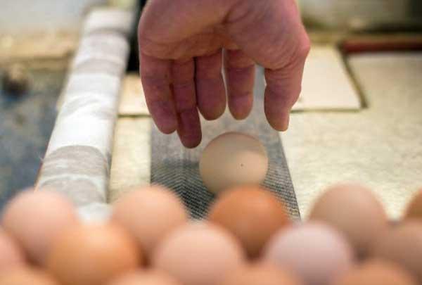 ندیده تخم نطفه دار خرید نکنید - چیکن هچ