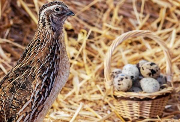 تعداد تخمگذاری بلدرچین در طول سال - چیکن هچ