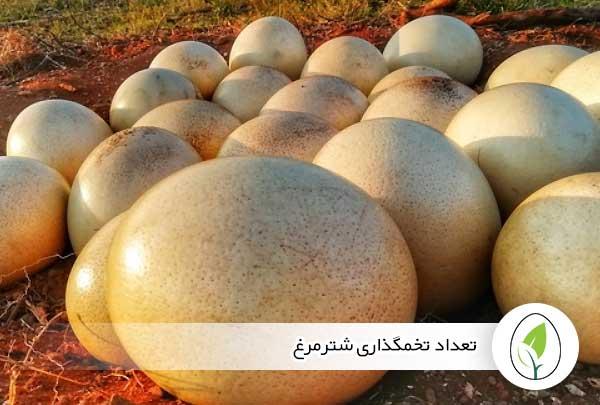 تعداد تخمگذاری شترمرغ - چیکن هچ
