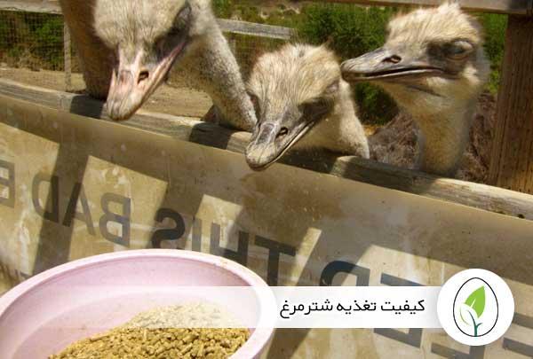 کیفیت تغذیه شترمرغ - چیکن هچ
