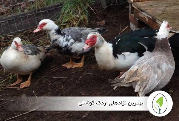 بهترین نژادهای اردک گوشتی - چیکن هچ