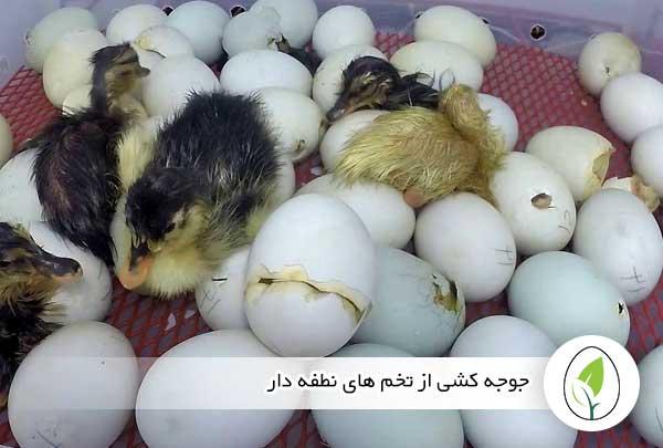 جوجه کشی از تخم های نطفه دار - چیکن هچ