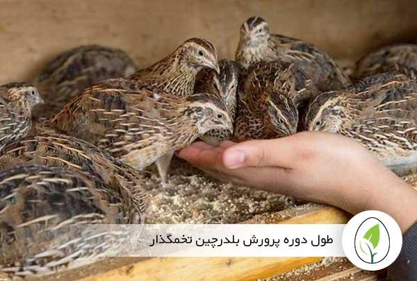 طول دوره پرورش بلدرچین تخمگذار - چیکن هچ
