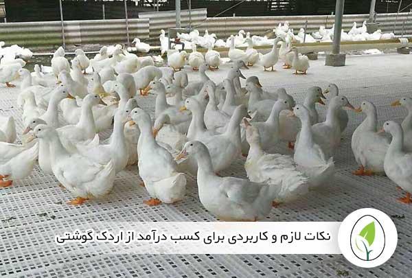 نکات لازم و کاربردی برای کسب درآمد از اردک گوشتی - چیکن هچ
