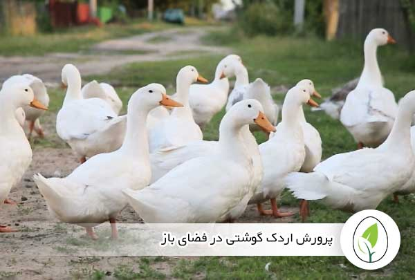 پرورش اردک گوشتی در فضای باز - چیکن هچ