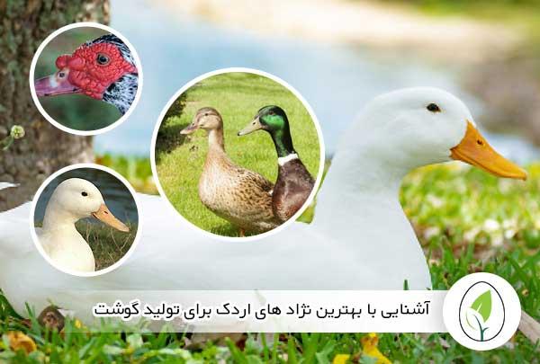 آشنایی با بهترین نژاد های اردک برای تولید گوشت - چیکن هچ