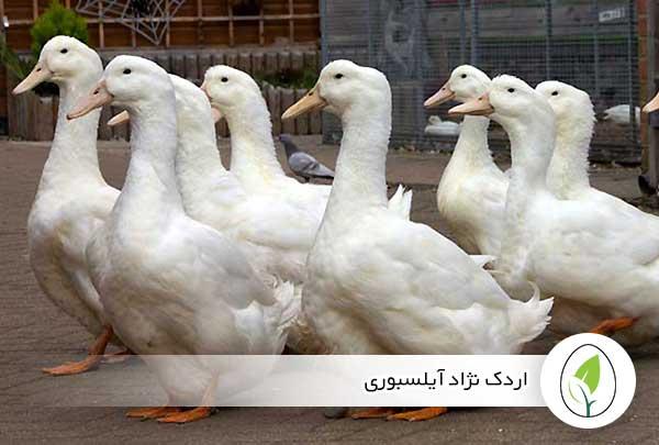 اردک نژاد آیلسبوری - چیکن هچ