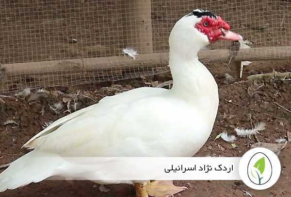 اردک نژاد اسرائیلی - چیکن هچ