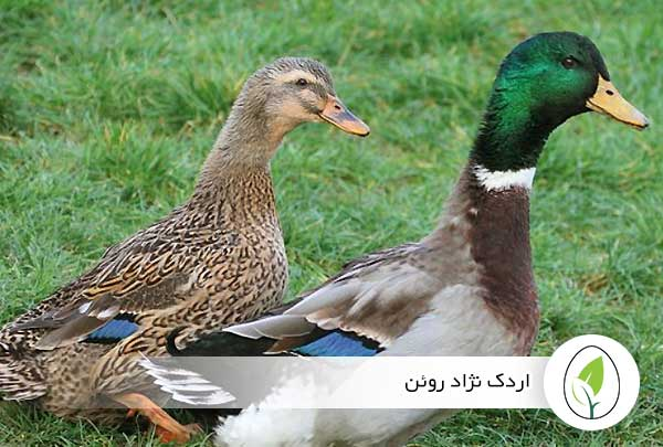 اردک نژاد روئن - چیکن هچ