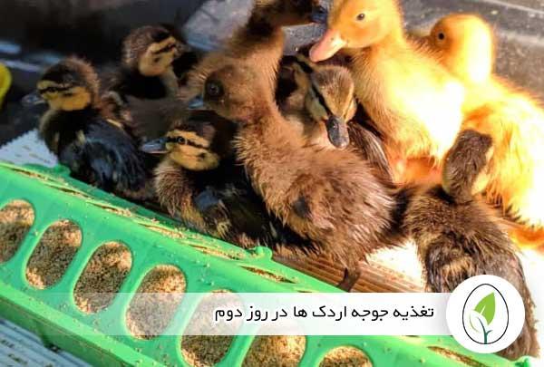 تغذیه جوجه اردک ها در روز دوم - چیکن هچ