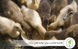 تغذیه مناسب برای جوجه های اردک - چیکن هچ