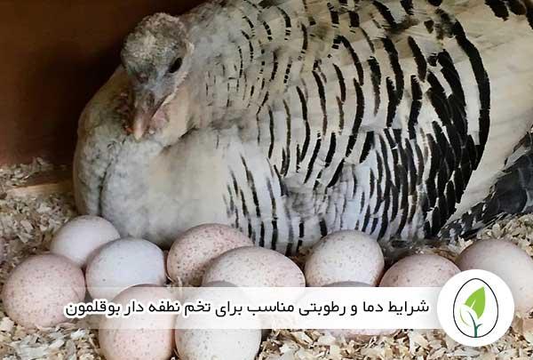 شرایط دما و رطوبتی مناسب برای نگهداری و انبار تخم نطفه دار بوقلمون - چیکن هچ