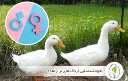 نحوه شناسایی اردک های نر از ماده - چیکن هچ