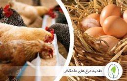 تغذیه مرغ های تخمگذار - چیکن هچ